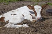picture of calf  - red and white calf lies in grass - JPG