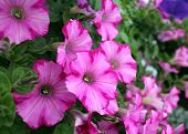 picture of petunia  - mix petunia flowers in the garden for background uses - JPG