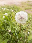 picture of dandelion  - dandelions or faded flowers common dandelion in a meadow - JPG