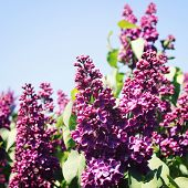 image of violet flower  - Flowers of Lilac on the blue sky background - JPG