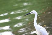 picture of bayou  - white egret at the lake in public park - JPG