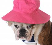 foto of wig  - female dog wearing wig and hat on white background  - JPG