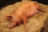 picture of laying-in-bed  - A Large Farm Pig Laying on a Bed of Straw - JPG