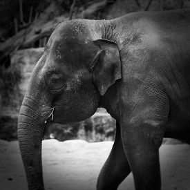 foto of indian elephant  - Indian elephant - JPG