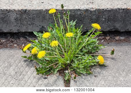 Yellow Dandelion taraxacum officinale growing on pavement