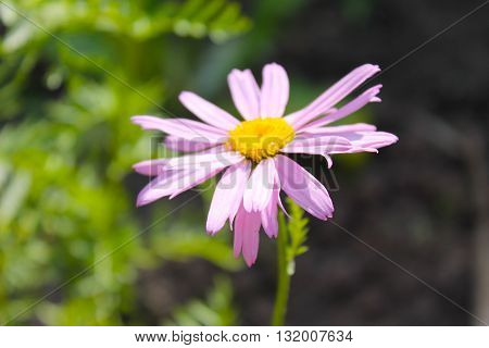 Beautiful pink camomile growing in the garden
