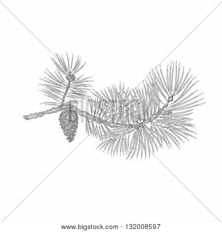 Pine branch and pine cone as vintage engraving natural background vector illustration