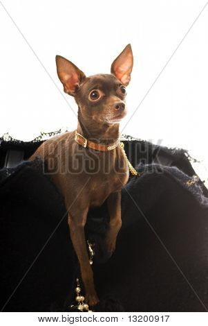 Toy Terrier in einer Luxus-Tasche, isolated on white background