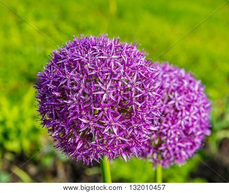 ball-shaped flowers on a green background in the garden