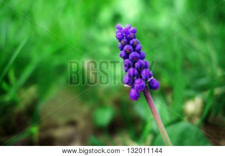beautiful wildflower bell. summer purple flower on a blurred background.