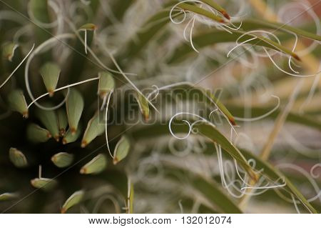 Close up of a Yucca Tree Plant