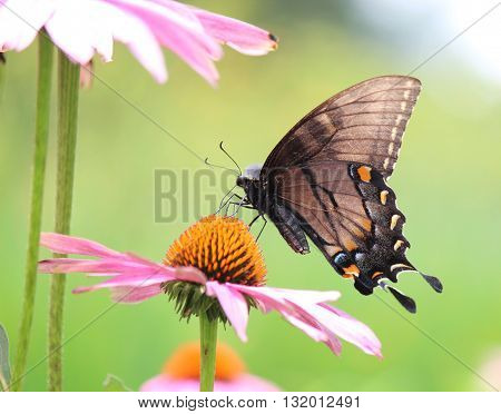 A butterfly feeds on nectar on a blossoming flower