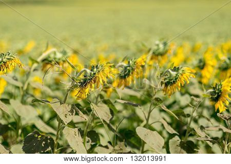 A field of wilting sunflowers pointed downwards from the sun