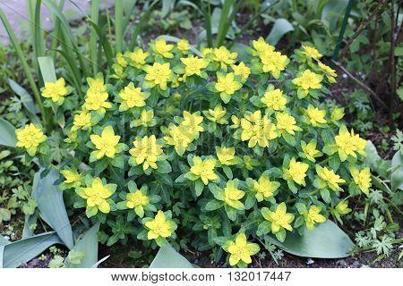 Flowering spurge bush in the spring garden
