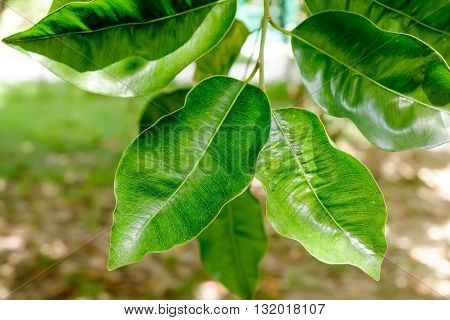 Abstract background with green leaves of Ficus on the tree. Selective Focus.