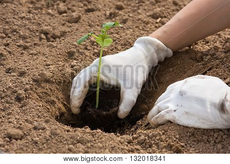 hands in gloves holding seedling of cucumber in the garden