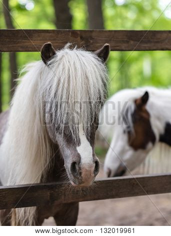thoroughbred ponies in the paddock on a farm