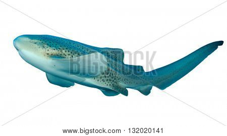 Leopard Shark (Zebra Shark) isolated on white background
