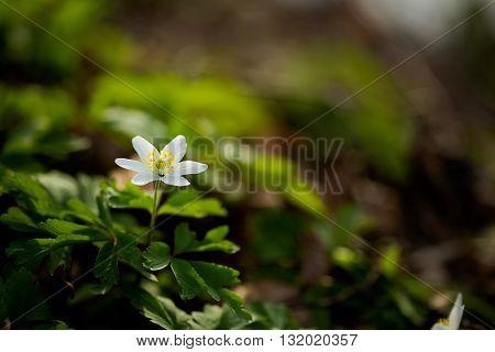 Closeup Of Beautiful Anemone Flowers