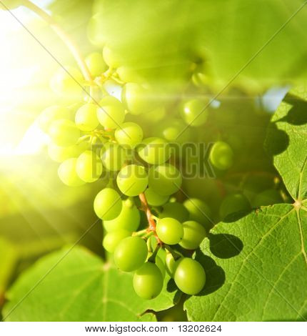 Green grapes close-up shot