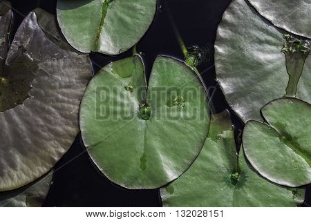 Large lily pads flotaing gently in garden pond
