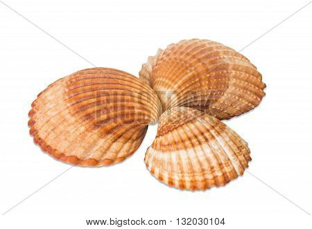 isolated brown Sea shells on white background
