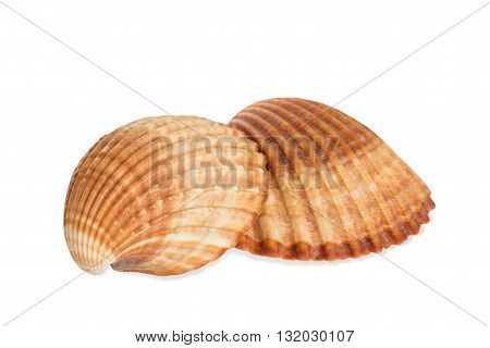 Two Sea brown shells on white background
