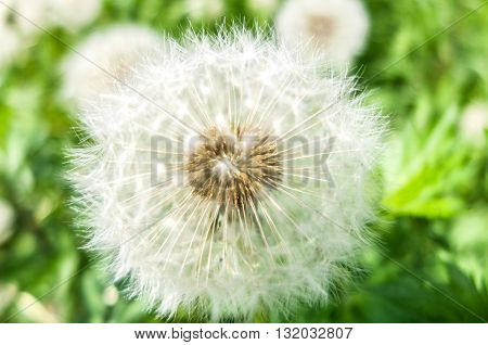 Easy fluffy white dandelion. Dandelion flower with seeds. Nature blossoms in the spring in parks and gardens.