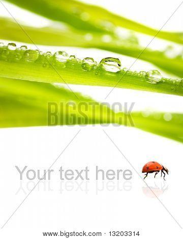 Verde hierba con gotas de agua en él aislado sobre fondo blanco