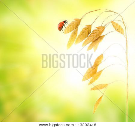 Ladybug sitting on a wheat herb