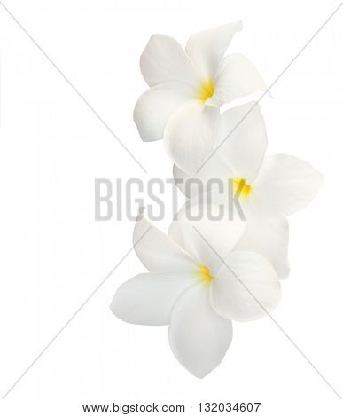 Three tropical flowers (Plumeria) isolated on white.