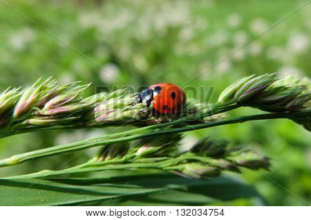 Red ladybug sits on a green leaf. Ladybug beetle: Coccinellidae. Cute beautiful insect. The insect specks.