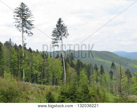 Two pine trees in a forest in the Carpathian mountains.
