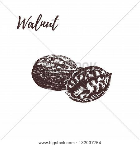 Walnut. Walnut hand drawn scetch. Walnut vector illustration. Walnut on white background. Walnut in vintage style.