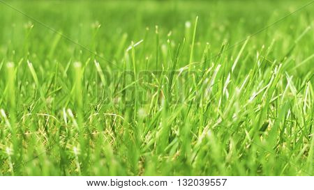 Background of green fresh grass. Gentle morning grass. Nature close up. Texture of green leaf. Juicy grass on the lawn.