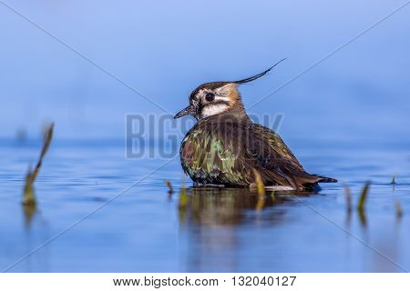 Bathing European Lapwing