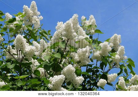 Fragrant white lilac with big flowers. Nature blossoms in the spring in parks and gardens.