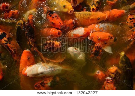 Koi goldfish in a zen pond for a tranquil outdoor setting