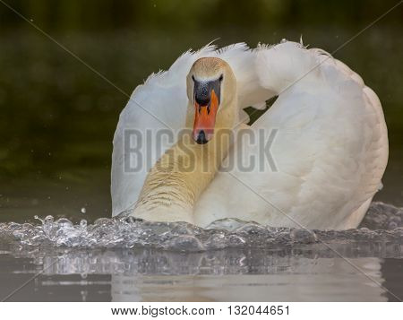 Male Swan Protecting Nest Site