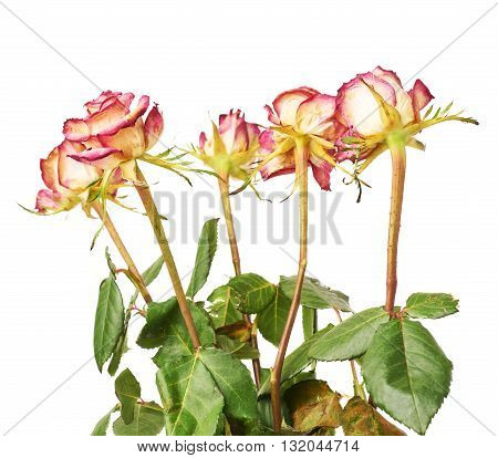 Dried pink roses over the white isolated background