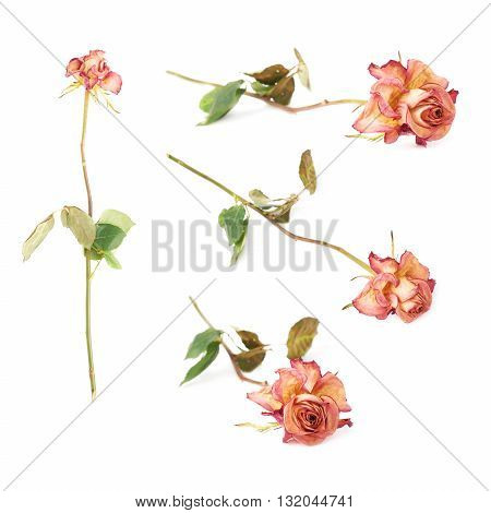 Single dried pink rose over the white isolated background