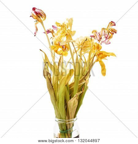Dried pink and yellow tulip flowers over isolated white background