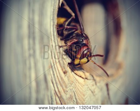 Big wasp - hornet about an entrance to a nest.