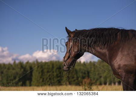 chestnut horse stallon graze in a paddock. Copyspace.