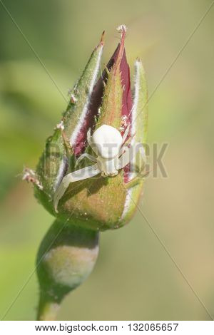 Macro of a White Crab Spider resting on a rose bud.