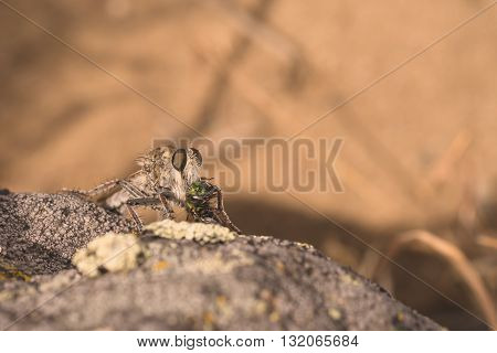Macro of a Robber fly sitting on a rock eating a green wasp.