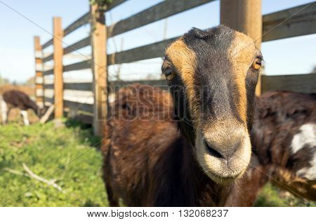 Earless Goat Close Portrait Farm Animal Domestic Livestock