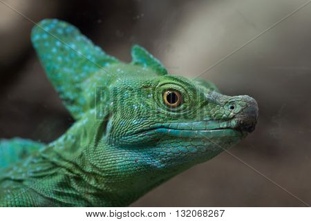 Plumed basilisk (Basiliscus plumifrons), also known as the green basilisk. Wildlife animal.