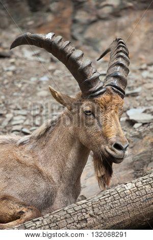 West Caucasian tur (Capra caucasica), also known as the West Caucasian ibex. Wildlife animal.