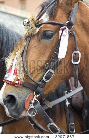 Headshot of a beautiful horse with parade harness